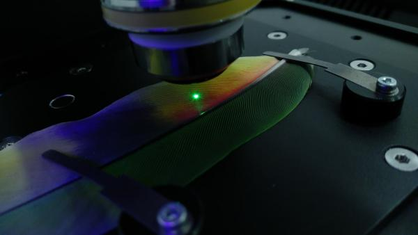 Parrot feather laser Large